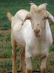 Kiko buck