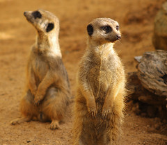 Meerkats (Erik K Veland) Tags: animals zoo meerkat sydney australia taronga