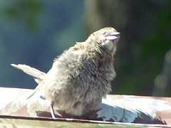 Female Brown headed Cowbird - Cowgirl (Purr!!!) Tags: brown female cowgirl headed cowbird