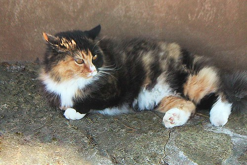 Taliesin Calico Cat