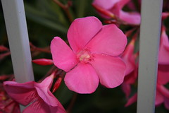 CloseUp Oleanders (Swami Stream) Tags: sanfrancisco california pink flowers india sunnyvale inn cannon swami ih sundowner swaminathan xti pinkalicious superbmasterpiece diamondclassphotographer flickrdiamond swamistream swamistreamcom