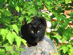 Hiding (Micky**) Tags: summer sunlight black green leaves rock cat blackcat micky kitty sneaky zlimen