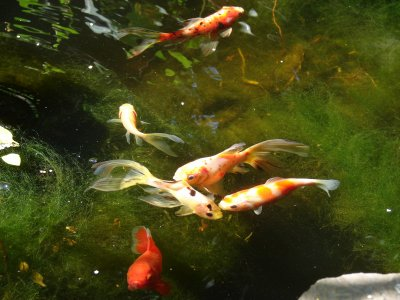 pond with goldfish