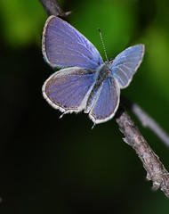 Western Tailed Blue Beauty - by BugMan50