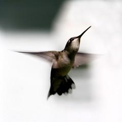 within my garden ... (jude) Tags: macro square bravo hummingbird bokeh spirit explore jude judith onwhite squared 2007 emilydickinson naturesfinest meskill judithmeskill magicdonkey featheryfriday specnature specanimal 30faves30comments300views 50faves50comments500views infinestyle superhearts apoeminmidair bppslideshow imagesonwhite judeonflickr