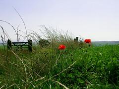 two red poppies (Dasha_K) Tags: flowers red flower green nature field grass fence landscape poppy poppies devilsdyke naturesfinest anawesomeshot impressedbeauty isawyoufirst fiveflickrfavs
