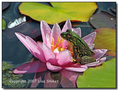 Frog Prince (Lisa-S) Tags: pink summer ontario canada flower reflection green water animal canon bravo waterlily lily sold lisas frog lilypads moores allrightsreserved invited lcbo 507 portstanley themoulinrouge naturesfinest blueribbonwinner swo supershot flickrsbest s3is canons3is naturesgallery mywinners anawesomeshot colorphotoaward superbmasterpiece theunforgettablepictures gardenofzen bravodiscussionthread thegoldendreams bramptoncityhallexhibition mooreswatergardens getty2009 soldongetty copyrightlisastokes getty20090324