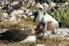 Laysan feeding - by angrysunbird