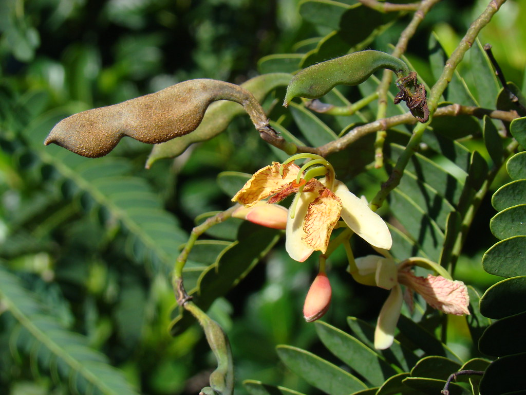 Tamarind: THAI SWEET Flower  #3
