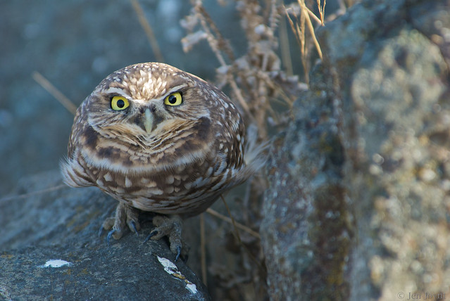 Burrowing owl hunkers down