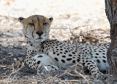 Cheetah #2, Central Kalahari Game Reserve, Botswana