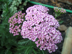 yarrow_6_2007_close_up