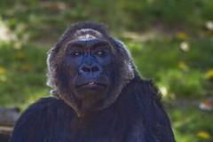 Gorilla (FrogMiller) Tags: california ca family nature animal animals zoo natural sandiego gorilla african wildlife evolution ape wildanimal wildanimalpark primate primates wildanimals greatape gorillaface africangorilla
