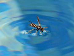 Wasp drinking in the swimming pool (Ubierno) Tags: summer swim surf wasp drink drinking surfing piscina swimmingpool verano bothering ete avispa molesto aplusphoto ubierno