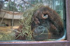 2007-07-14.IMG_0806_0808_HDRe (A.J. Haverkamp) Tags: zoo thenetherlands orangutan hdr rhenen dierentuin orangoetan ouwehandsdierenparkrhenen borneoorangutan httpwwwouwehandnl borneoorangoetan