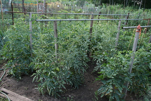 tomatoes at community garden