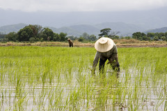 Planting the Rice (siebe ) Tags: field thailand rice paddy thai topf highfive amateurs abeauty amateurshighfive invitedphotosonly