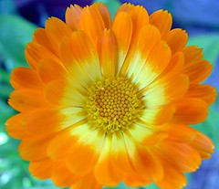 marigold (*LINNY *) Tags: orange flores flower macro yellow garden flora waterdrop fuji drop dew marigold macrp