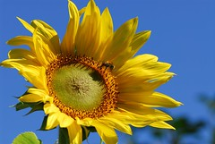 SUMMER! (picaddict) Tags: summer searchthebest bee explore sunflower ourgarden sonnenblume aphoto naturesfinest blueribbonwinner gelbblau unsergarten masterphotos aplusphoto ultimateshot naturesfines citrit fabulousflower