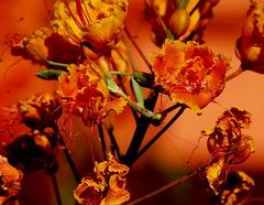 Tuesday Evening Praying Mantis and flower shots in the yard (13) (marksontok) Tags: flowers blue red arizona cactus orange plants green beautiful yellow mantis insect bugs palm thorns prayingmantis