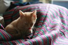 flavour (Adam Greig) Tags: kitten kitty zeb