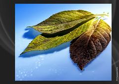 AUTUMN (Francesco Carta) Tags: autumn stilllife color foglie colore giallo autunno azzurro anawesomeshot flickrdiamond