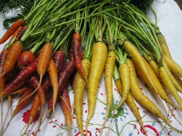 todays-carrot-harvest