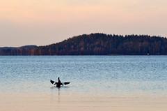 Wave (Toni es Bueno) Tags: sunset color bird nature landscape nikon tamron 70300 isokoskelo d3100