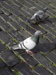 Pigeons à Heidelberg