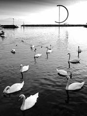 swan lake (mujepa) Tags: lake switzerland swan suisse lac lausanne weathervane swanlake ouchy cygnes vaud girouette lelacdescygnes blackwhitephotos  tchaikowski