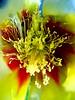 FiReWoRk (°°°BlAnChOn_FaBiAnA°°°) Tags: flower macro colors garden coolest flowerpower blueribbon excellence centermacro abigfave mypool colorphotoaward magicofaworldinmacro