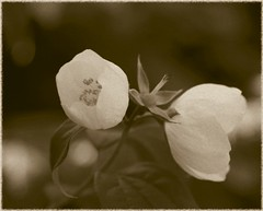 Jasminum (vintage sepia version) - by paral_lax
