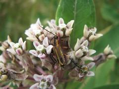 Bug on milkweed