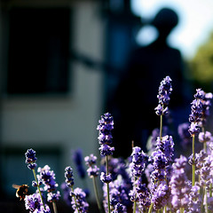 Purple Haze -  Jimi Hendrix @ Dimbola Lodge (s0ulsurfing) Tags: flowers light shadow summer sun sunlight blur flower nature beautiful statue mystery wonderful island bay flora focus dof purple natural bright bokeh bees magic lavender lodge bee lilac isleofwight hendrix jimi magical isle jimihendrix wight 2007 lavendar freshwater subtle dimbola naturesfinest freshwaterbay instantfave s0ulsurfing dimbolalodge anawesomeshot
