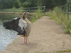 EARLSWOOD LAKES, REIGATE, SURREY (pilgrimbridgeclub) Tags: ducklings swans cygnets ducksplusunknownnameofbird
