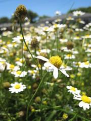 Dasies_1269 (raphaelmazor) Tags: california longbeach lakewood asteraceae phasei outdooradventures anthemiscotula lbna westsangabrielriverparkway lakewoodcityparks