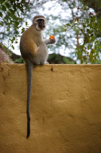 Monkeyeatingcolor