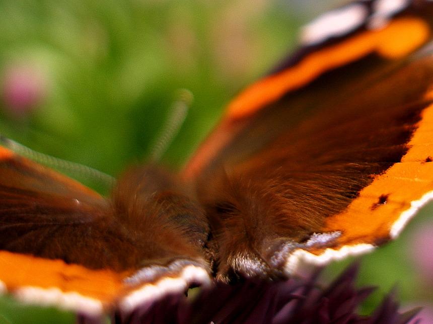 butterfly tocks