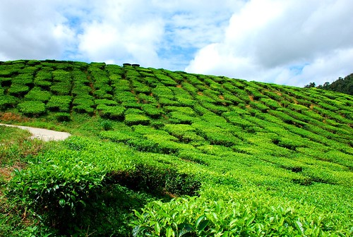 Cameron Tea Farm