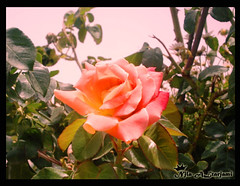 (Njla-ALtarjami) Tags: rose