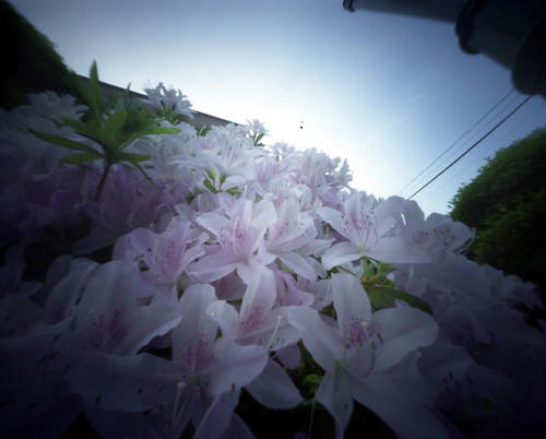 Rhododendron  白いツツジ