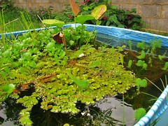 117 (Rodrigo Borato) Tags: plants pool de pond dragonfly aquatic fishes chapu bacopa salvinia couro rotala echinodorus macrophyllus tenellus eicchornia