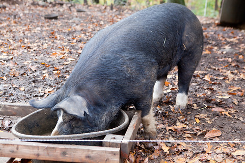 Berkshire pig eating