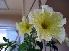limoncello_bloom_6_2007
