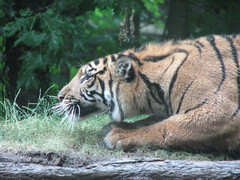 TigerStalking (Beth Mischitelle) Tags: toronto animal canon zoo cub tiger bigcat endangered sumatrantiger torontozoo endangeredspecies tigercub stalkingtiger