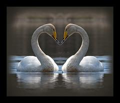 Laulujoutsen(et) (mattisj) Tags: bird love swan searchthebest heart lintu joutsen whooperswan cygnuscygnus rakkaus sydän laulujoutsen