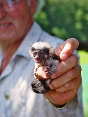 Tiny monkey (Tambako the Jaguar) Tags: baby cute zoo monkey switzerland hand small tiny ape primate eichberg cottontoppedtamarin saguinusoedipus flickrwildlife photofaceoffwinner pfogold