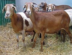 Damara ewes