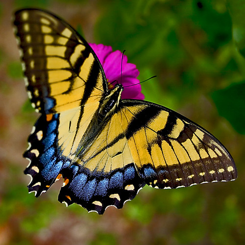 Swallowtails 07
