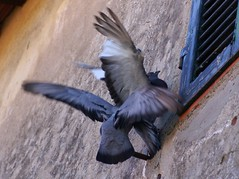 What the F#CK (de Raaf) Tags: birds animals de dove raaf vogel duif